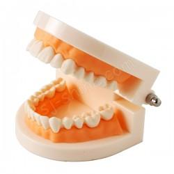 牙齒模型 (1:1)