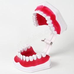 2倍 牙齒模型