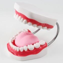 6倍 牙齒模型(有舌頭)